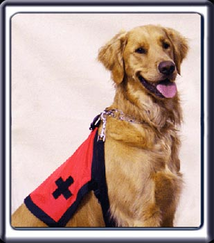 Golden Retriever Search Dog.